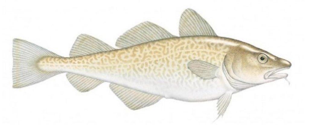 alaska-cod