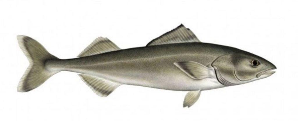 black-cod