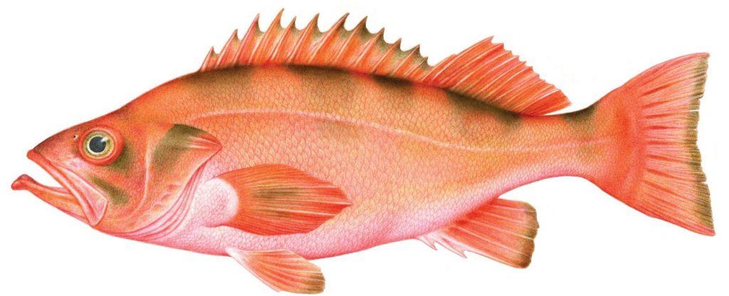 rockfish-and-atka-mackerel