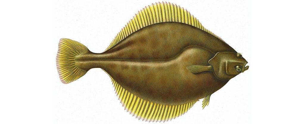 sole-flounder