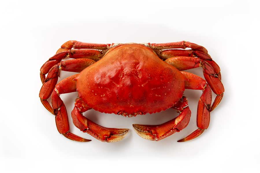 Dungeness Crab Photo on White Background