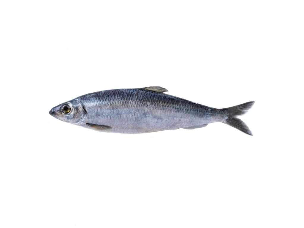 Photo of herring on white background